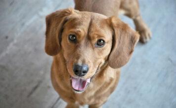 Pielęgnacja oczu i uszu psów